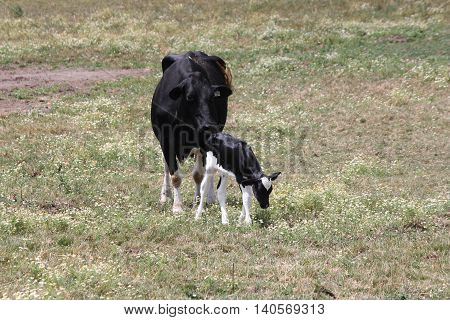 Holstein cow and calf in a small enclosed grassy farm area.