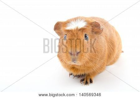 Funny-looking guinea pig (isolated on white selective focus on the guinea pig eyes) with copy space on the left for your text
