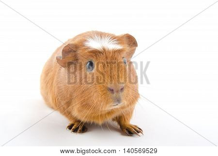 Funny-looking guinea pig (isolated on white) selective focus on the guinea pig eyes