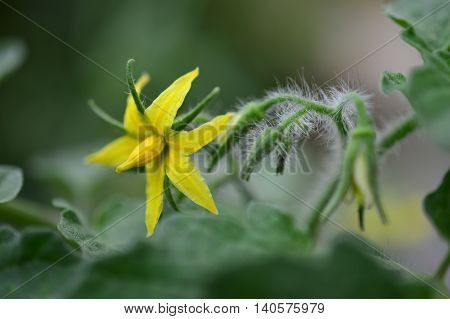 closed-up picture of a yellow tomato flower selective focus