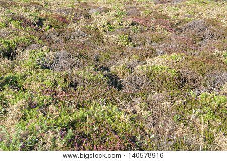 colorful heath vegetation detail seen around Pointe de Pen-Hir in Brittany France
