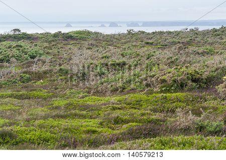heath vegetation scenery around Pointe de Pen-Hir in Brittany France