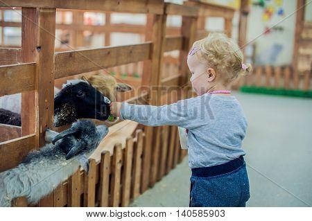Girl Feeding Sheep On The Farm