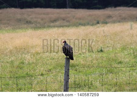 Turkey Vulture (Cathartes aura) perched on a fence post in a farm yard.
