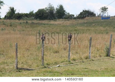 Turkey Vulture's (Cathartes aura) perched on a fence post in a farm yard.