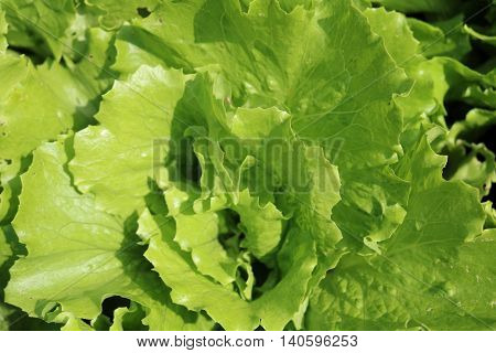 Lettuce or salad - flowering plants related Astra