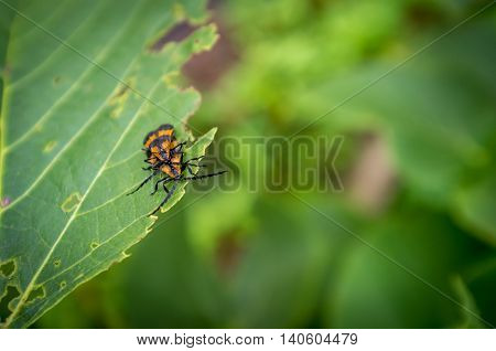 Macro close up orange reticulated netwinged beetles mating