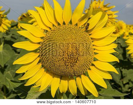 Sunflower with a bee. Stock photo. Bee on flower