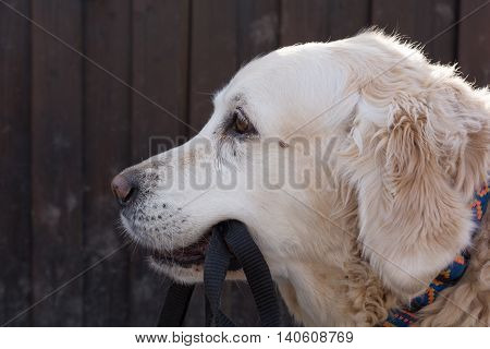 old golden retriever carries its own leash