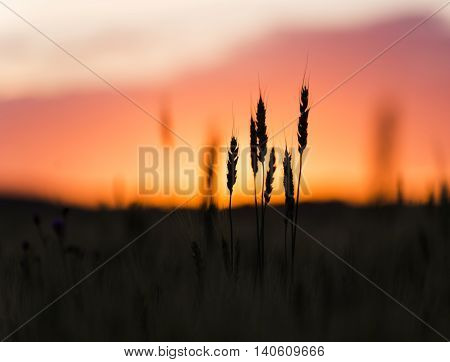 Grain head of wheat, triticum, triticeae plant silhouetted against sunset