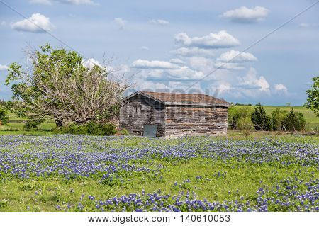 Texas Bluebonnet Field And Old Barn In Ennis