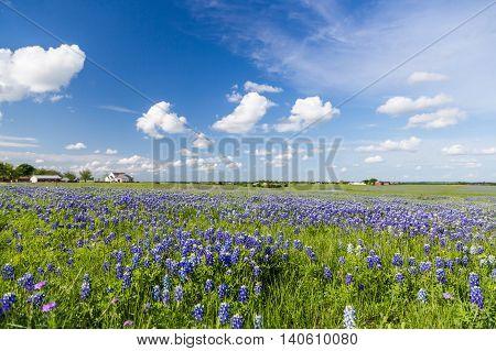 Bluebonnet Field And Blue Sky In Ennis, Texas