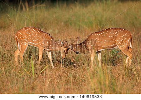 Young male spotted deer or chital (Axis axis) fighting, Kanha National Park, India