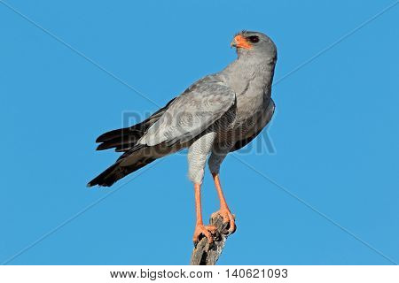 Pale Chanting goshawk (Melierax canorus) perched on a branch, Kalahari desert, South Africa