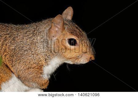 Portrait of a grey squirrel or eastern gray squirrel (Sciurus carolinensis) on black