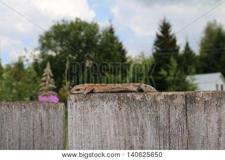 The common wall lizard, lizard or wall (Podarcis muralis)