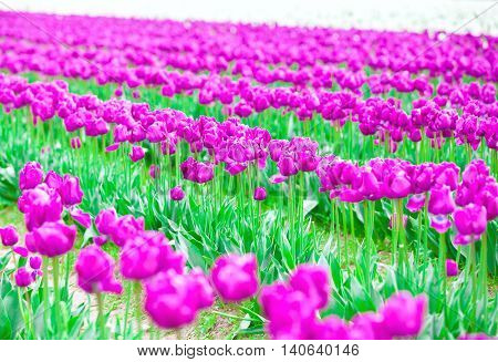 Rows of beautiful purple tulips flowers in a large field