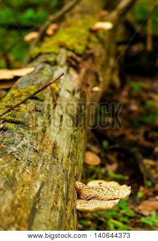 Pancake-style mushrooms growing out of a fallen log in spring