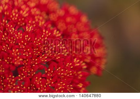Red flower on a propeller plant, scientifically known as Crassula falcate, blooms in the middle of a drought in summer in Southern California, United States.