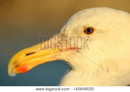 A portrait of a Western Gull with a drop of water on its beak.