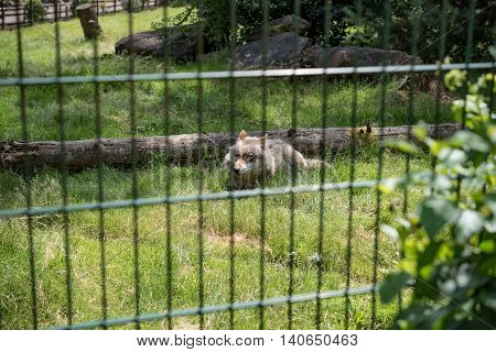 very shy wolf peering out of the woods in Germany