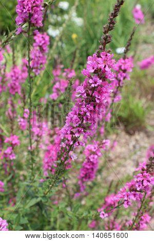 Loosestrife Morden's Gleam Lythrum magenta/purple wildflower bending in the breeze.