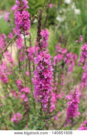 Loosestrife Morden's Gleam Lythrum magenta/purple wildflower sunny day