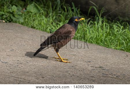 Common Myna bird (Acridotheres tristis) walking on a garden pavement.