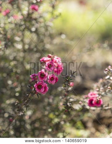 Early morning sunlight streaming on pink leptospermum flowers and dewdrops