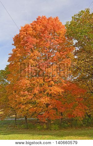 Sugar Maple in Fall Colors in the Morton Abortetum in Lisle Illinois