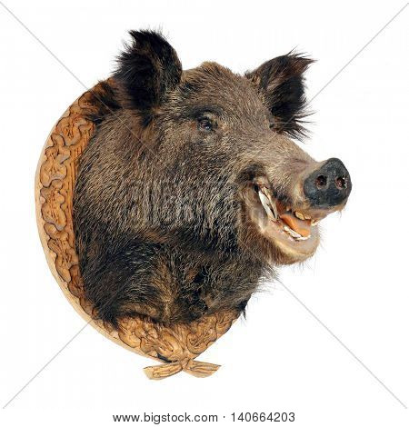 Wild boar (Sus scrofa) head isolated on a white background. Hunting trophy from wilderness.