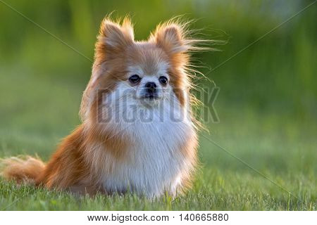 Pomeranian Dog , long-haired, sitting in grass portrait