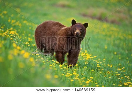 Black Bear cinnamon phase in meadow flowers
