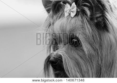Decorative dog Yorkshire Terrier face closeup sad look black-and-white photo