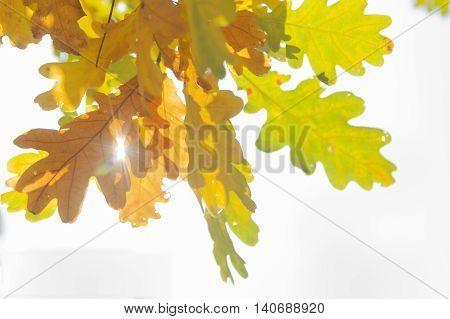 White oak quercus robur leaves in autumn yellow and brown coloured sun shining through