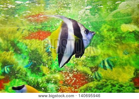 Pennant coralfish latin name - Heniochus acuminatus. Striped marine butterflyfish with black and white vertical lines and yellow tail and fins. Sea saltwater aquarium. Shallow depth of field poster