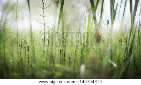 growing horsetail summer day in the swamp flowering herbs