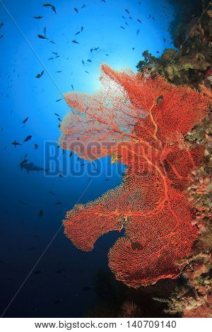 Coral reef underwater: Fan coral and shark in background