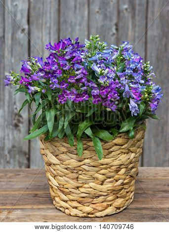 Blue Bellflowers In A Basket.