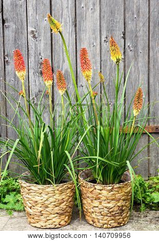 Kniphofia Or Red Hot Poker Pants.
