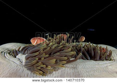 Sea anemone and Skunk Anemonefish clownfish fish