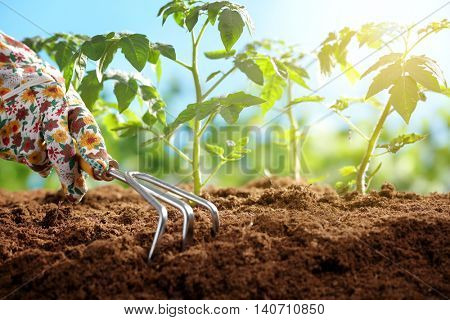 Plant tomato seedlings in the morning