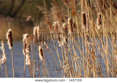 Reedsinsun