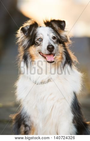 adorable sheltie dog posing outdoors in summer