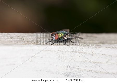 Colored Fly Sitting On A Piece Of Wood