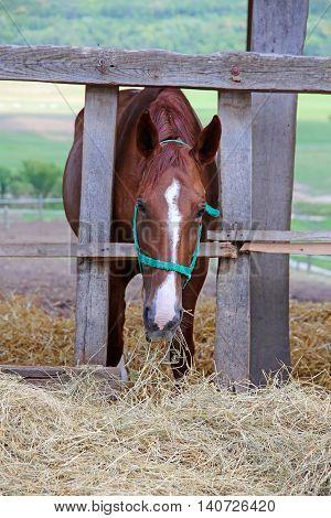 Chesnut horse eat dry hay on farm summertime