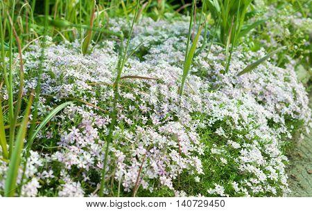 flowering looks like snow flowers. Cerastium tomentosum