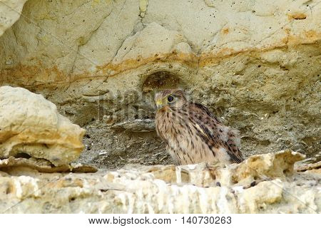young common kestrel near the nest ( Falco tinnunculus )