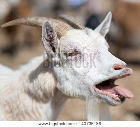 Close-up view of bleating white old goat.
