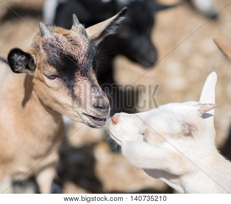 Close-up view of two kissing goats outdoors